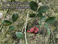 Abarema jupunba, Ingarana  Click to see full-size image