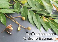 Cedrela fissilis, Cedro Blanco, Brazilian Cedarwood  Click to see full-size image