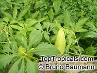 Cyclanthera pedata, Momordica pedata, Caigua, Wild Cucumber, Stuffing CucumberClick to see full-size image