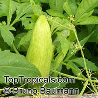 Cyclanthera pedata, Momordica pedata, Caigua, Wild Cucumber, Stuffing Cucumber  Click to see full-size image