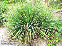 Cymbopogon citratus - Lemon grass  Click to see full-size image