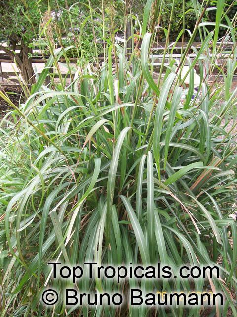 Cymbopogon Winterianus Citronella Grass Toptropicals Com
