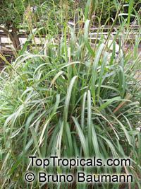 Cymbopogon winterianus, Citronella GrassClick to see full-size image