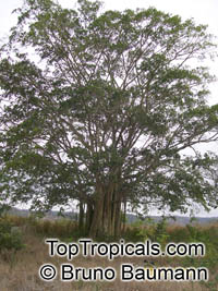 Ficus jacobii (?), Matapalo  Click to see full-size image