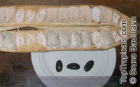 Inga spectabilis, Ice Cream Bean, Guabo, Guaba machete  Click to see full-size image