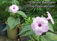 Ipomoea carnea, Silver Morning Glory, Bush Morning Glory  Click to see full-size image