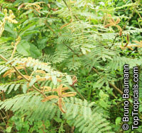 Mimosa pigra, Giant Sensitive Tree  Click to see full-size image
