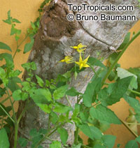 Solanum pimpinellifolium, Lycopersicon pimpinellifolium, Currant TomatoClick to see full-size image