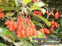 Swartzia arborescens, Possira arborescens, Swartzia   Click to see full-size image