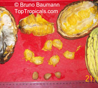 Theobroma bicolor, White cacao, Macambo, Motelo  Click to see full-size image