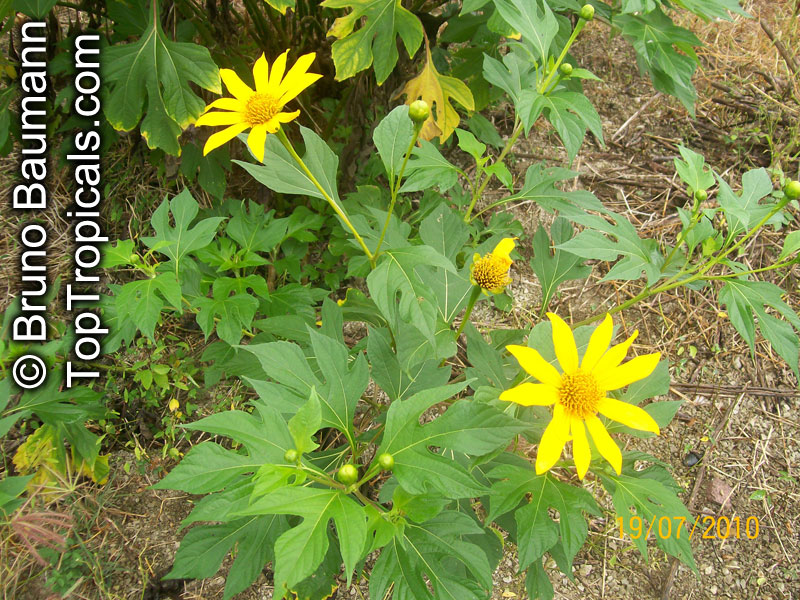 Tithonia Diversifolia Sunflower Tree Tree Marigold Wild
