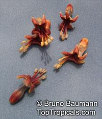 Trichanthera gigantea, Ruellia gigantea, Madre de Agua, Suiban, Cenicero, Tuno, Naranjillo, Palo de Agua  Click to see full-size image