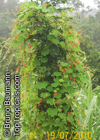 Tropaeolum moritzianum, Moritz-Nasturtium  Click to see full-size image