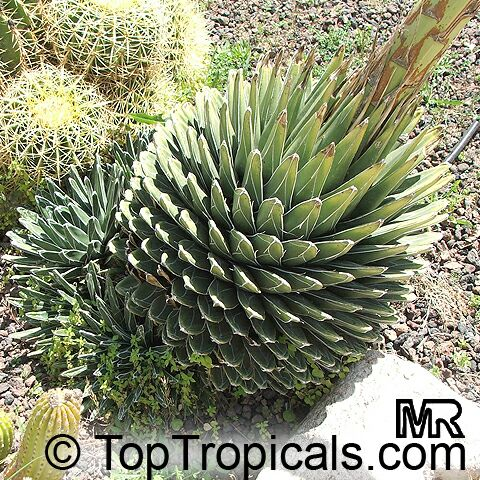 Agave sp agaveclick to see full size image