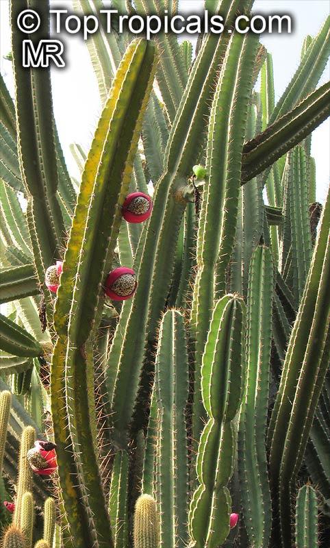 True Night Blooming Cereus, Epiphyllum oxypetalum, article ... |Night Blooming Cereus Cactus Care
