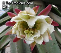 Cereus peruvianus, Cereus uruguayanus, Cereus hildmannianus, Night Blooming Cereus, Peruvian Apple, Column Cactus, Apple Cactus  Click to see full-size image