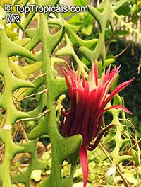 Cryptocereus (Selenicereus) anthonyanus - Zig-Zag Cactus  Click to see full-size image