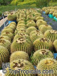Echinocactus grusonii, Golden Barrel Cactus  Click to see full-size image