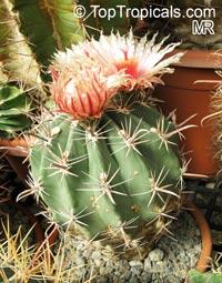 Ferocactus sp., Barrel Cactus  Click to see full-size image