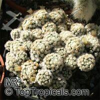 Mammillaria sp., Mammillaria  Click to see full-size image