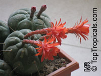 Matucana madisoniorum, Submatucana madisoniorum, Matucana  Click to see full-size image