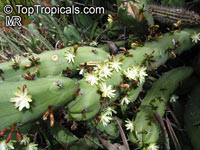 Myrtillocactus geometrizans, Bilberry Cactus, Whortleberry Cactus, Blue Candle  Click to see full-size image