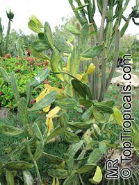 Opuntia cochenillifera, Nopalea cochenillifera, Opuntia nuda, Cochineal Cactus, Warm hand, Velvet Opuntia, Nopales Opuntia, Nopal Cactus  Click to see full-size image