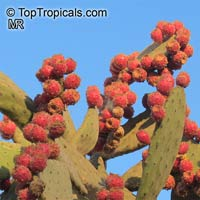 Opuntia tomentosa, Tree Pear, Velvet OpuntiaClick to see full-size image