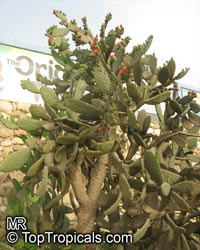 Opuntia tomentosa, Tree Pear, Velvet Opuntia  Click to see full-size image