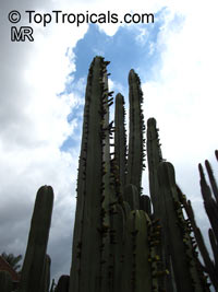 Pachycereus marginatus, Marginatocereus marginatus, Central Mexico Pipe Organ, Organo, Fence Post Cactus   Click to see full-size image