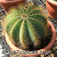 Parodia magnifica, Notocactus magnificus, Ball Cactus  Click to see full-size image