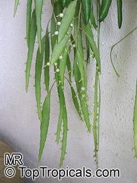 Pseudorhipsalis ramulosa, Rhipsalis ramulosa var. angustissima, Red Rhipsalis  Click to see full-size image