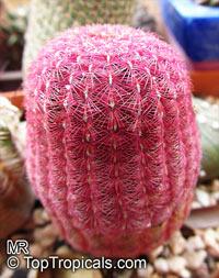 Echinocereus rigidissimus, Cereus pectinatus var. rigidissimus, Echinocereus pectinatus var. rigidissimus, Arizona Rainbow Hedgehog Cactus, Cabeza de Viejo  Click to see full-size image