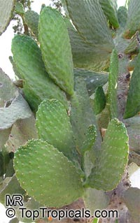 Opuntia sp., Prickly Pear  Click to see full-size image