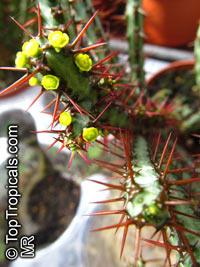 Euphorbia aeruginosa, Miniature Saguaro  Click to see full-size image