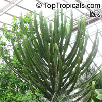Euphorbia confinalis, Confinalis, Lebombo Euphorbia, Lebombo Milktree  Click to see full-size image