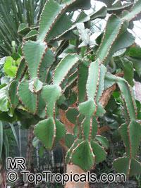 Euphorbia sp., Milkweed, SpurgeClick to see full-size image