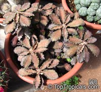 Euphorbia decaryi, Euphorbia  Click to see full-size image