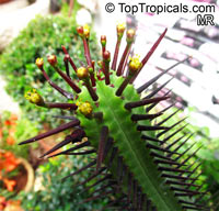 Euphorbia enopla, Pincushion Euphorbia   Click to see full-size image