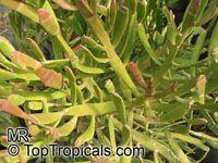 Euphorbia enterophora, Euphorbia xylophylloides, Milk-bush  Click to see full-size image