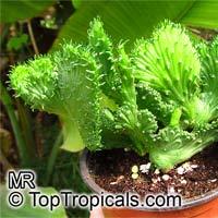 Euphorbia flanaganii, Medusa Head  Click to see full-size image
