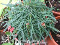 Euphorbia gottlebei, Euphorbia  Click to see full-size image