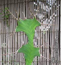 Euphorbia grandicornis, Cow's Horn  Click to see full-size image