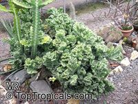 Euphorbia lactea, Candelabra Plant, Elkhorn  Click to see full-size image