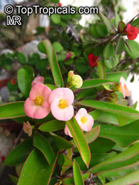 Euphorbia milii, Crown of thorns