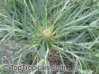 Euphorbia monteiroi, Brandberg Euphorbia  Click to see full-size image