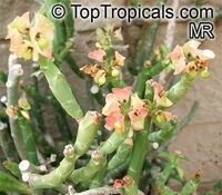 Euphorbia pteroneura, Euphorbia  Click to see full-size image