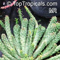 Euphorbia pugniformis, Medusa Head  Click to see full-size image