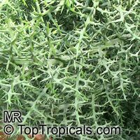 Euphorbia stenoclada, Silver Thicket  Click to see full-size image