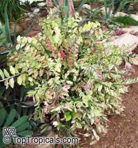 Euphorbia tithymaloides, Pedilanthus tithymaloides, Devil's backbone, Zigzag plant, Jacob's ladder  Click to see full-size image